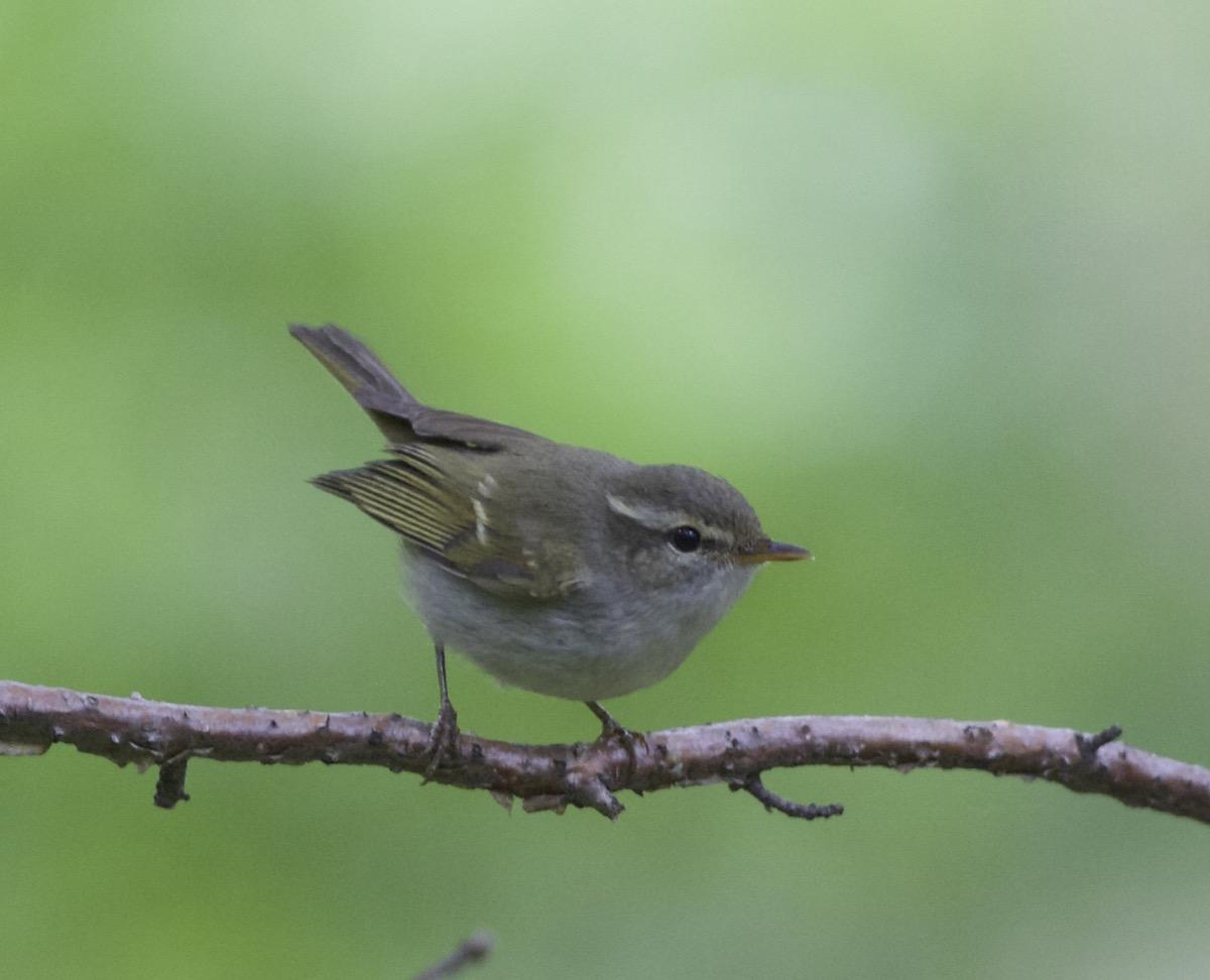 2016-06-17 Greenish Warbler, Lingshan