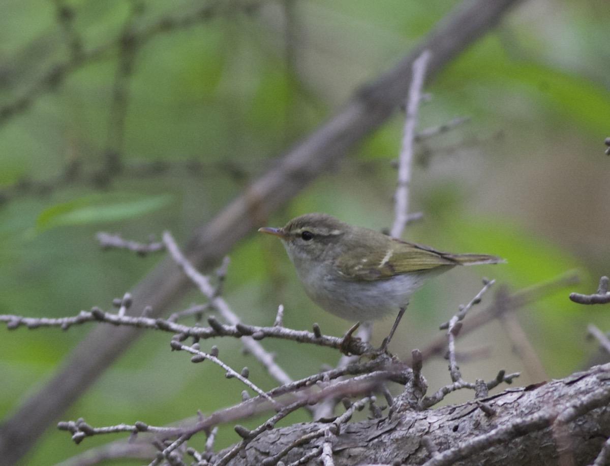 2016-06-17 Greenish Warbler, Lingshan4