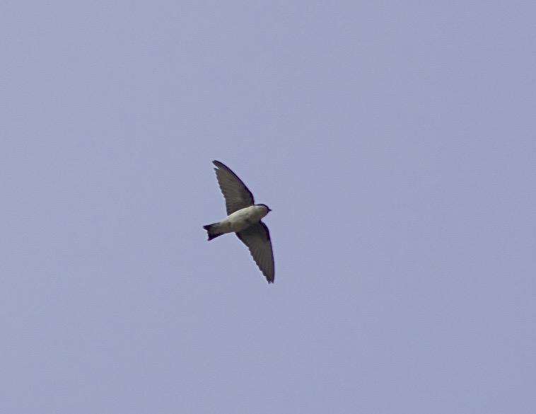 One of the 5 ASIAN HOUSE MARTINS at Baihe Canyon today. Note the dark underwing coverts, dusky underparts and shallow forked tail.