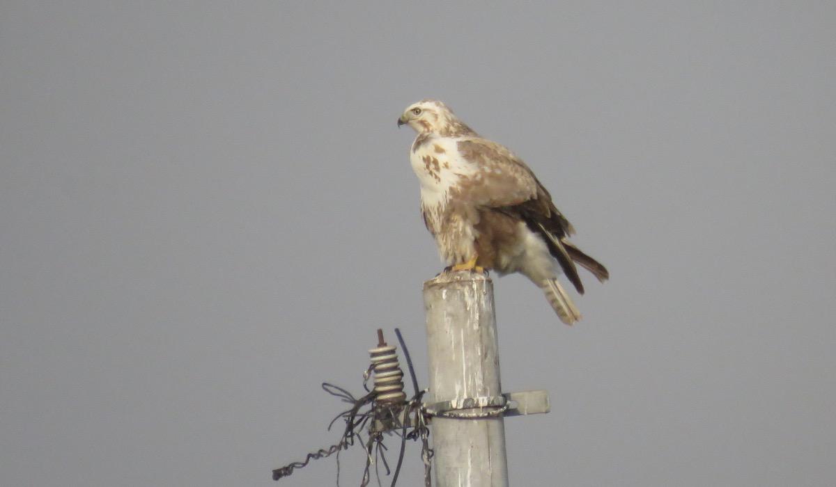 2016-11-11-upland-buzzard2-shunyi