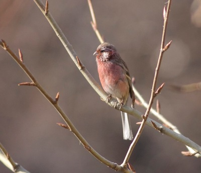 2016-12-02-long-tailed-rosefinch-ssp-lepidus-male-lingshan-8