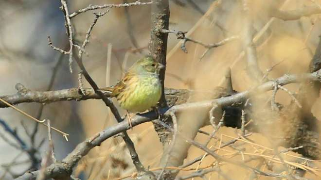 2017-02-18-personata-black-faced-bunting-beizhuang-cai-zhenbo-and-li-weiying