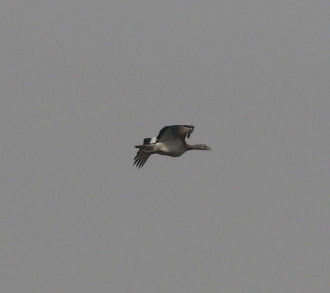 Great Bustard, Shahe, 15 April 2015 (Colm Moore)
