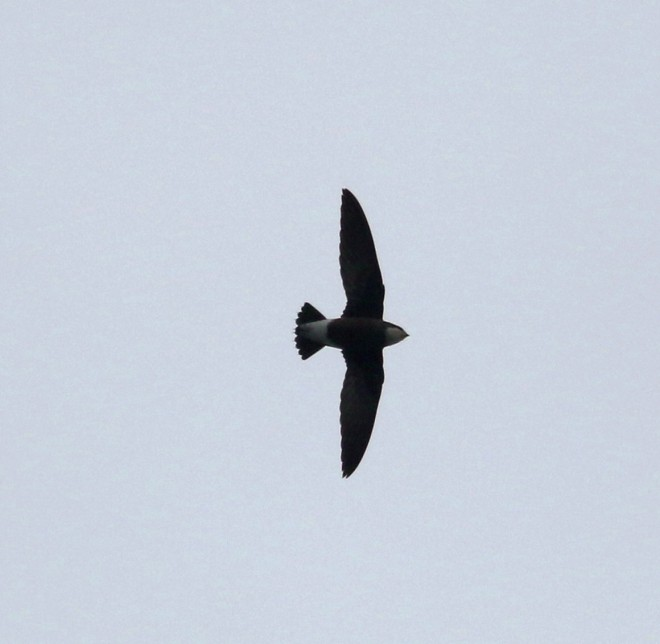 White-throated Needletail, Miaofengshan. Photo by Colm Moore.