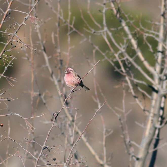 Chinese Beautiful Rosefinch, Miaofengshan. Photo by Zhao Qi.