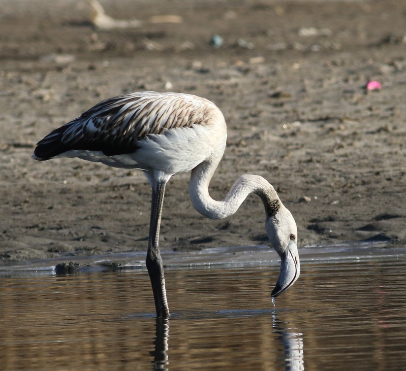 Greater Flamingo In China: What's Going On?