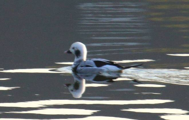 Long-tailed Duck, Shahe Reservoir. A great find by Chen Yanxin.