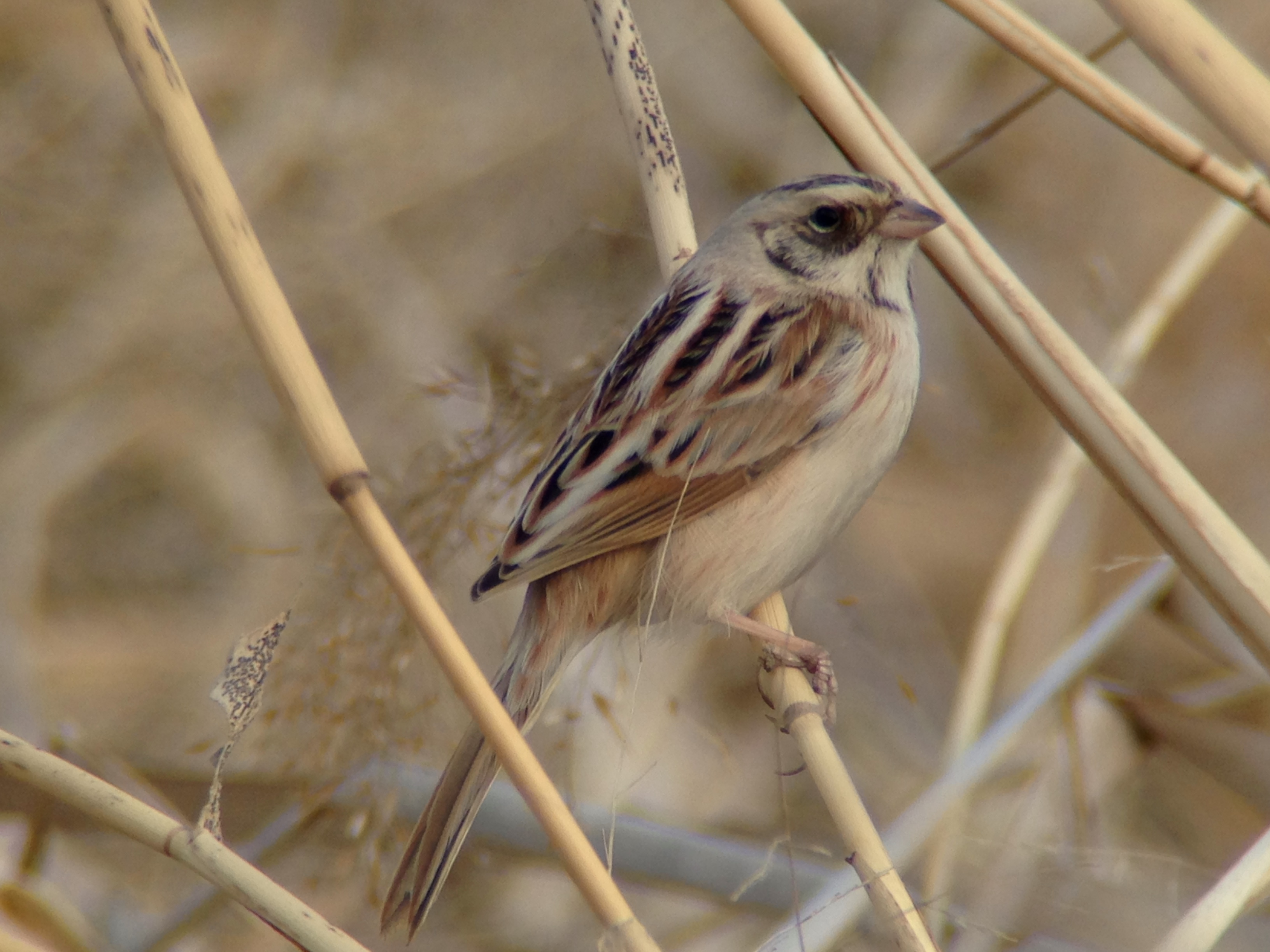JAPANESE REED BUNTING, Wenyu He, 12 March 2015