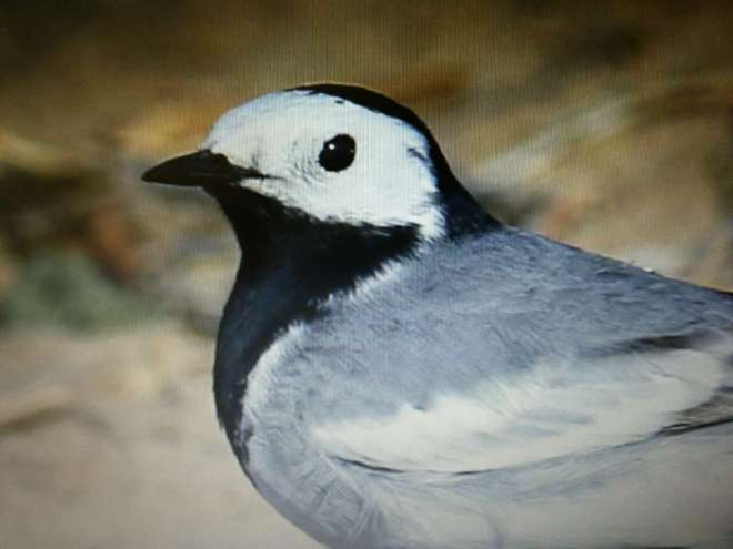 White Wagtail ssp alba, Ma Chang 6 April 2015.  The second record of this subspecies in Beijing just 8 days after the first!  Photo by Cheng Dong.