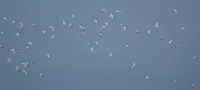 Some of the 374 RELICT GULLS at Shahe on 2 April (photo by Colm Moore).