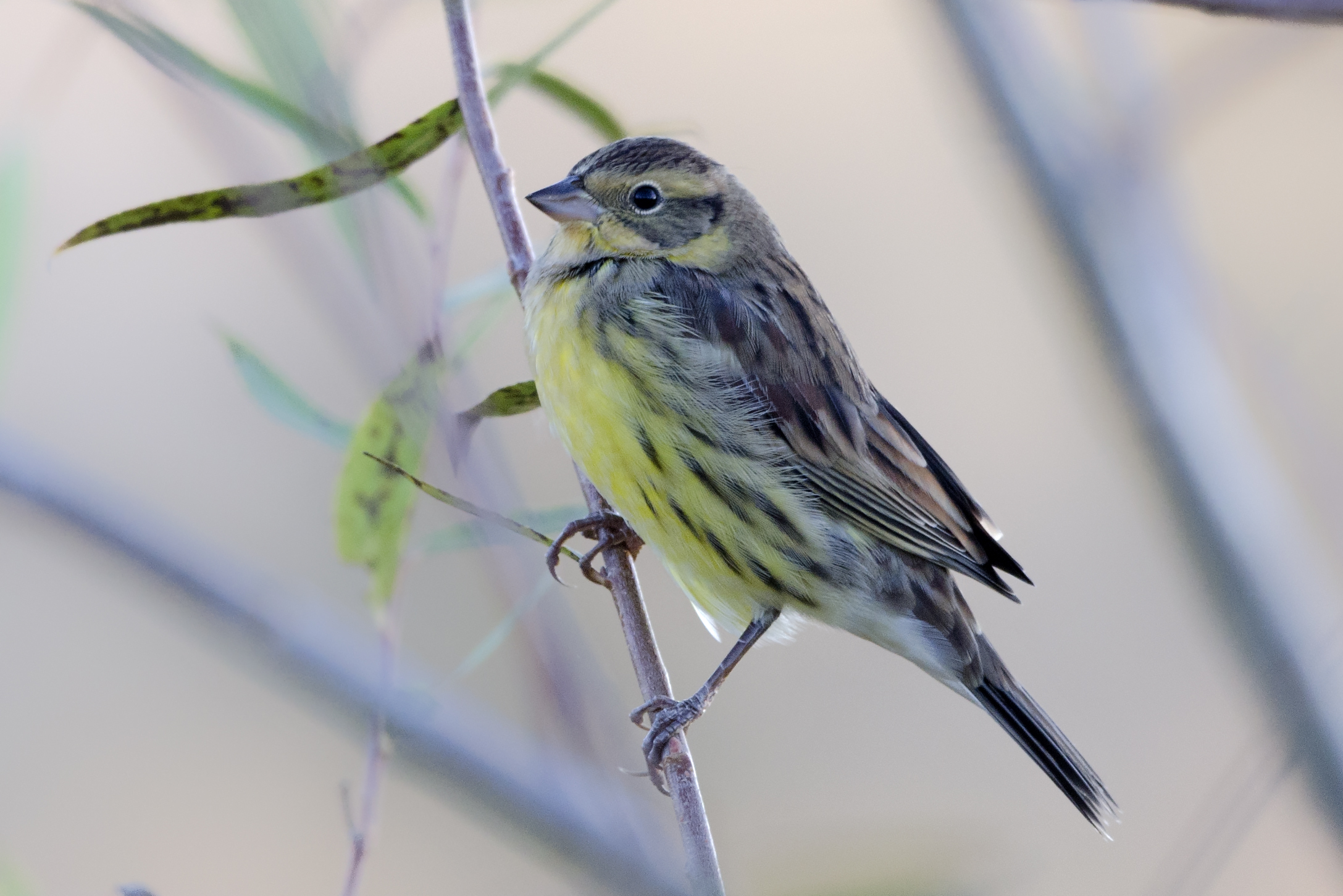 This YELLOW-BREASTED BUNTING continued the good run of this species this autumn in Beijing.