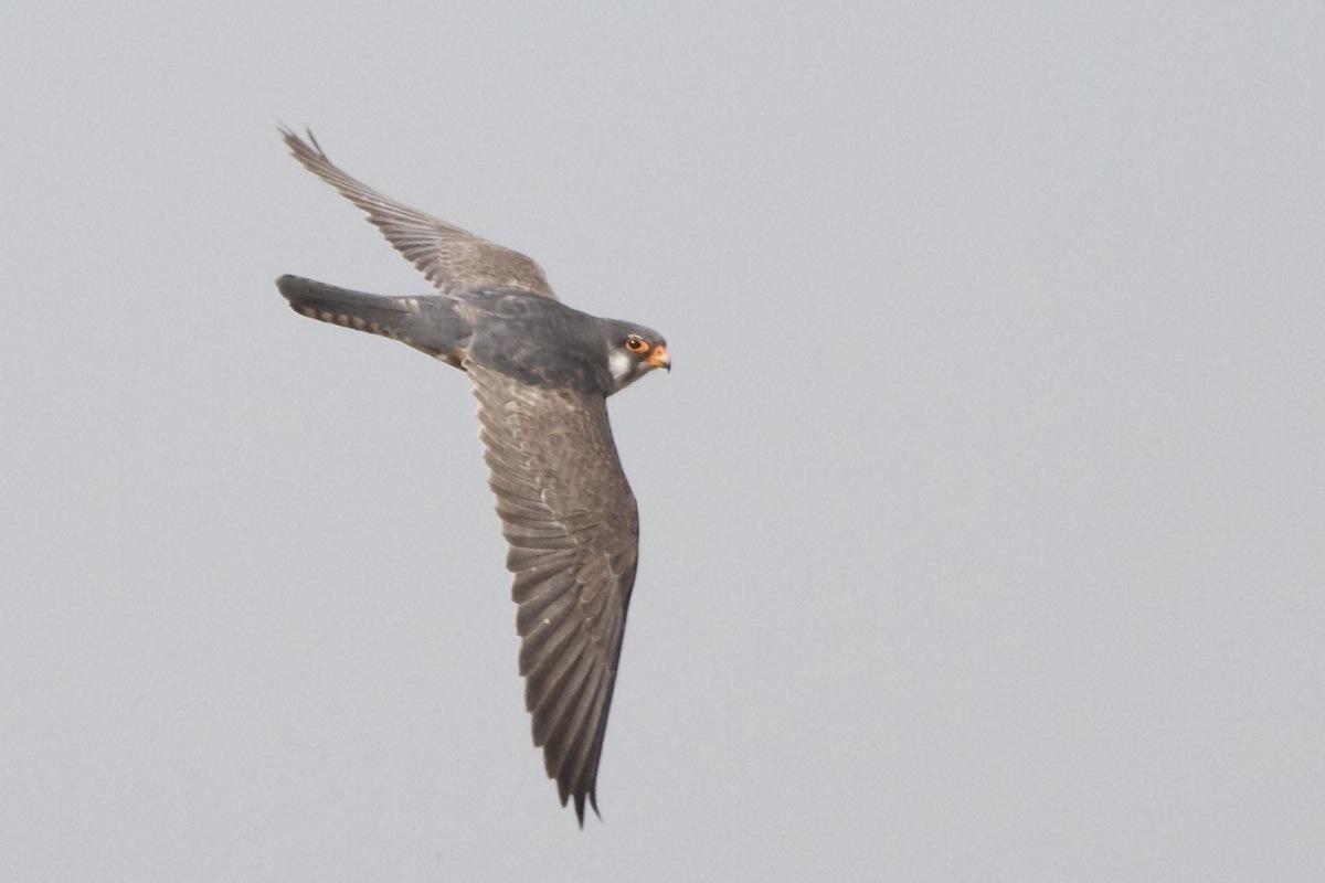 Amur Falcon – Birding Beijing 北京观鸟
