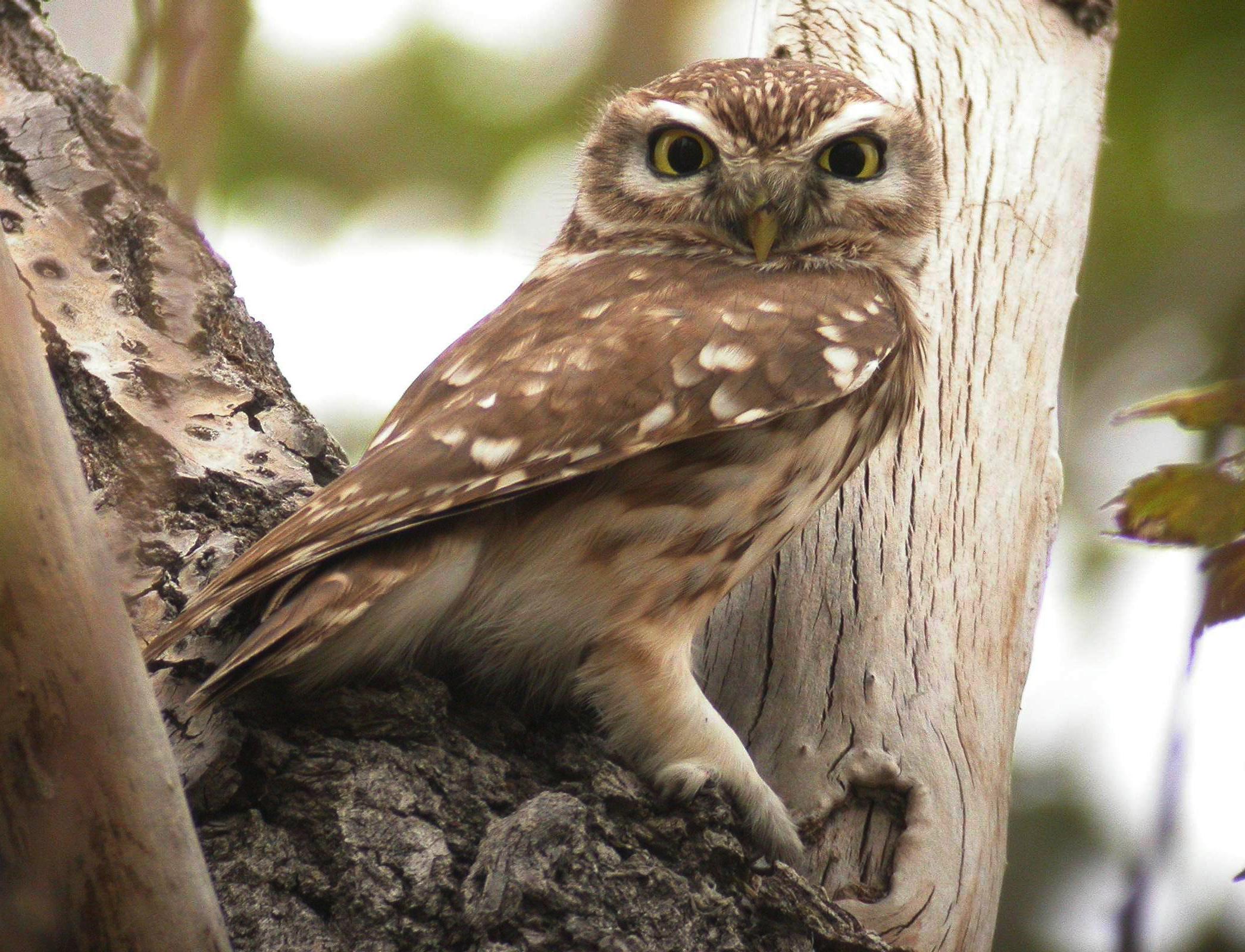 swinhoe s owlet birding beijing 北京观鸟