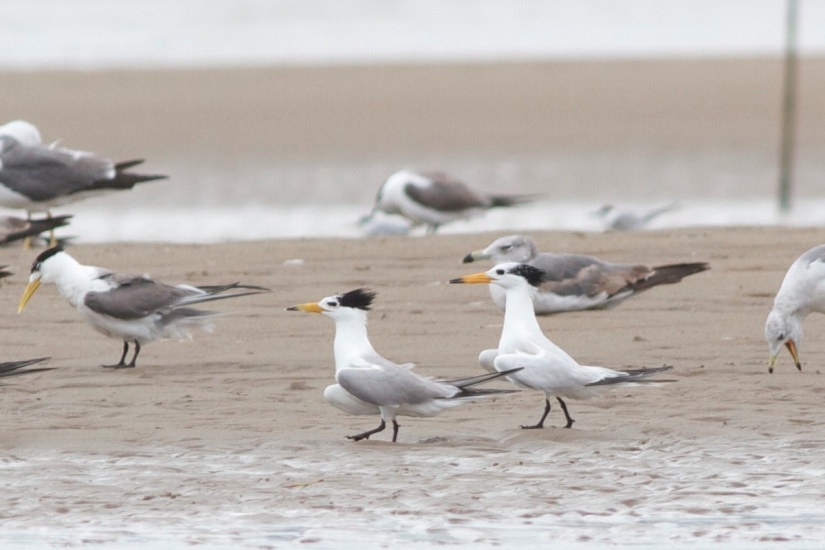 Chinese Crested Tern and possible hybrid.  Note the darker mantle, more curved upper mandible and more yellowish bill.