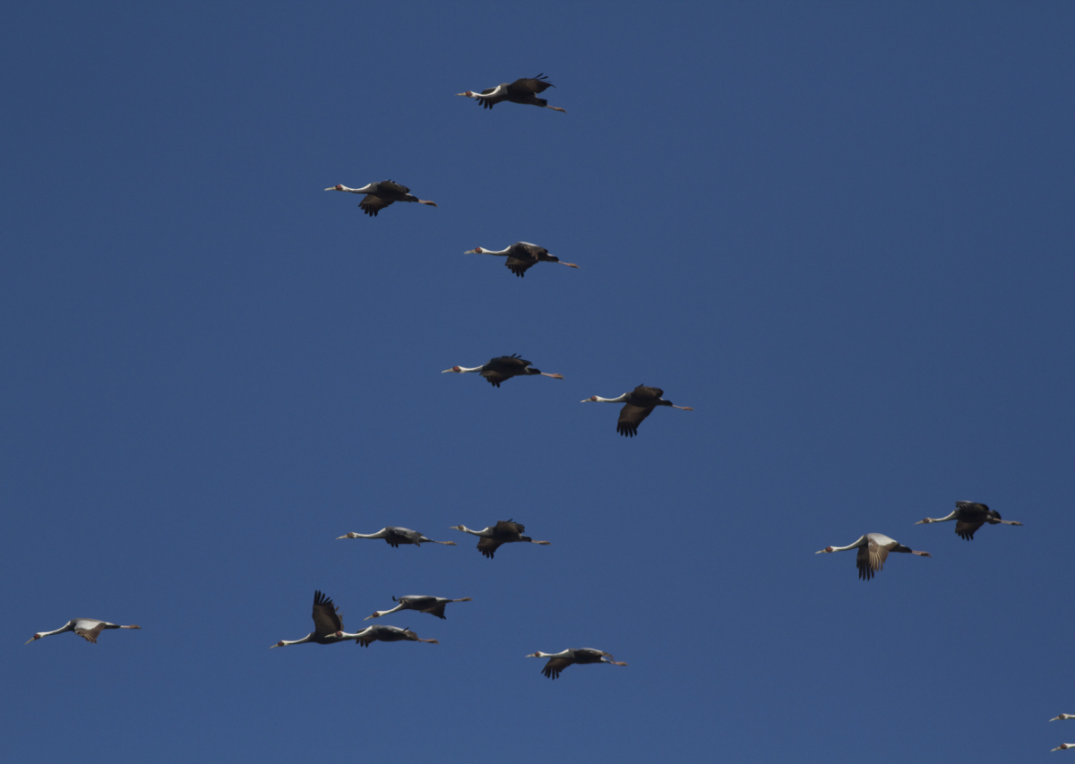 2016-03-07 White-naped Cranes, Miyun