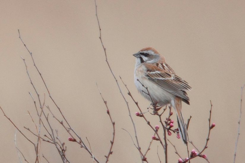 Jankowski's Bunting (Emberiza jankowskii).  A male on the breeding grounds in northeast China.