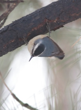 Chinese Nuthatch (Sitta villosa), one of the residents of the Botanical Gardens in Beijing