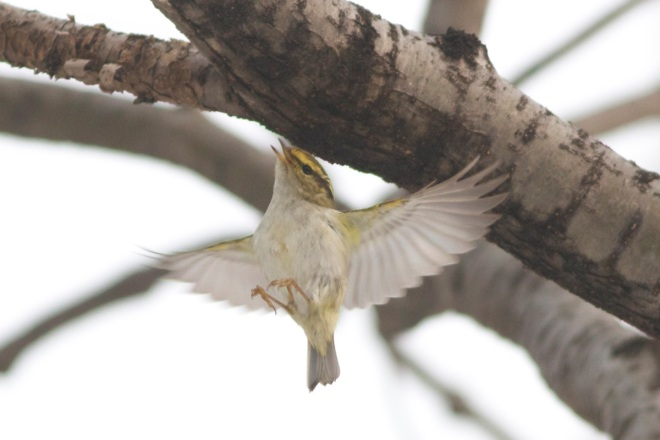 Pallas's Warbler (Phylloscopus proregulus).  Amazingly, a few of these hardy little birds survive the Beijing winter.
