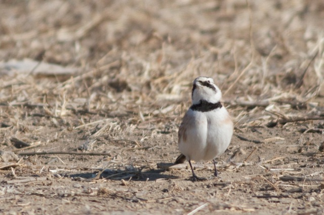 Horned Lark ssp brandti.