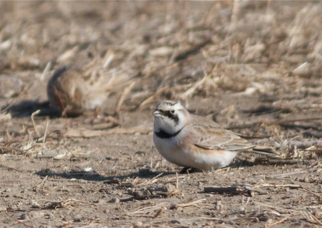 Horned Lark (ssp brandti), Wild Duck Lake, 18 December 2012