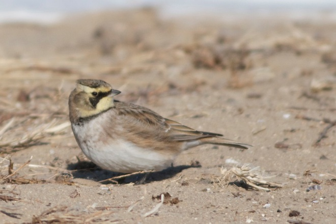 Horned Lark ssp flava, Wild Duck Lake, 18 December 2012
