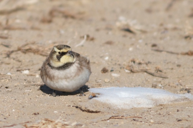 Horned Lark ssp flava, Wild Duck Lake, 18 December 2012.
