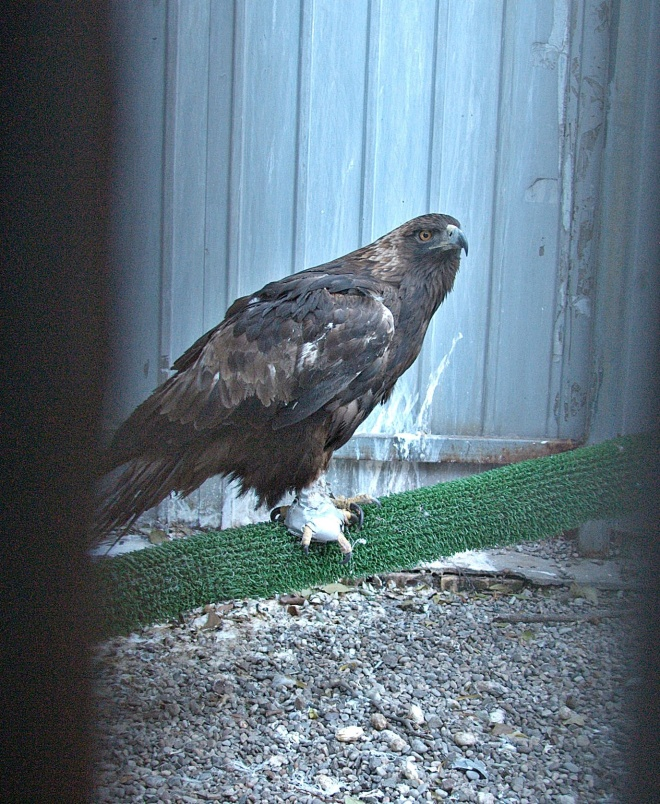 The Golden Eagle rescued from a roadside seller in Inner Mongolia
