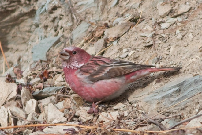 Pallas's Rosefinch (adult male), Beijing, 17 February 2013.  A stunning bird.
