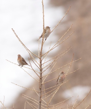 Three of the 60+ Pallas's Rosefinches at Lingshan.  These are females or immature males.