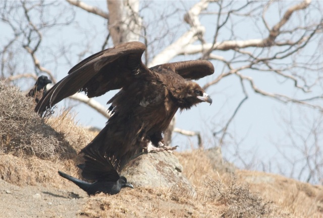 Cinereous Vulture, Lingshan.  This bird was constantly harassed by the Large-billed Crows. At one point, one even jumped onto its back!