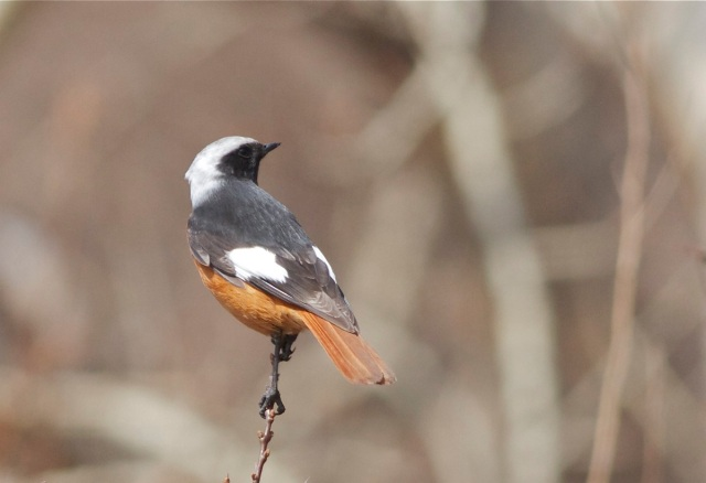 Guldenstadt's Redstart (male), Lingshan.  This bird is a first winter male (brownish tips to the primaries).