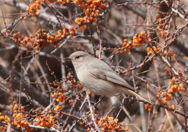 Guldenstadt's Redstart (female), Lingshan.