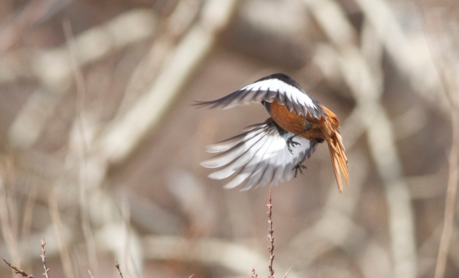 "Guldenstadt's Redstart (male).  Take-off shows the extensive white wing patches (hence the alternative name of ""White-winged Redstart"")."