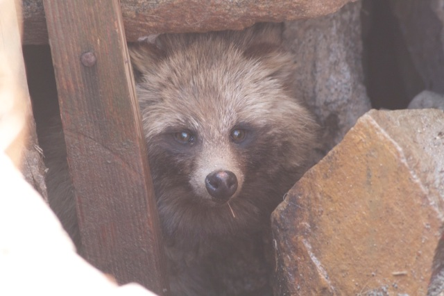 This Racoon Dog, apparently deliberately released last weekend, was holed up in a drainage channel.
