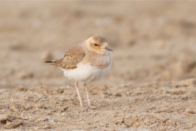Oriental Plover, Ma Chang, 29 March 2013.  I don't know anything about ageing or sexing OPs.  Do the pale fringes to the feathers on the upperparts and the buffy face indicate immaturity?  Or is this an adult female?