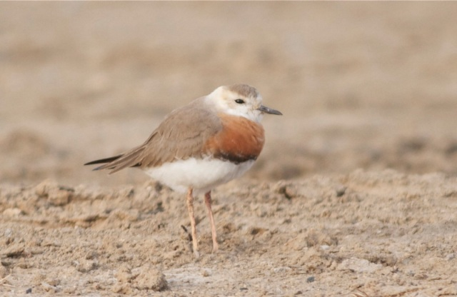 Oriental Plover, Ma Chang, Friday 29 March 2013.  The arrival of these birds symobolises the beginning of Spring at Wild Duck Lake.