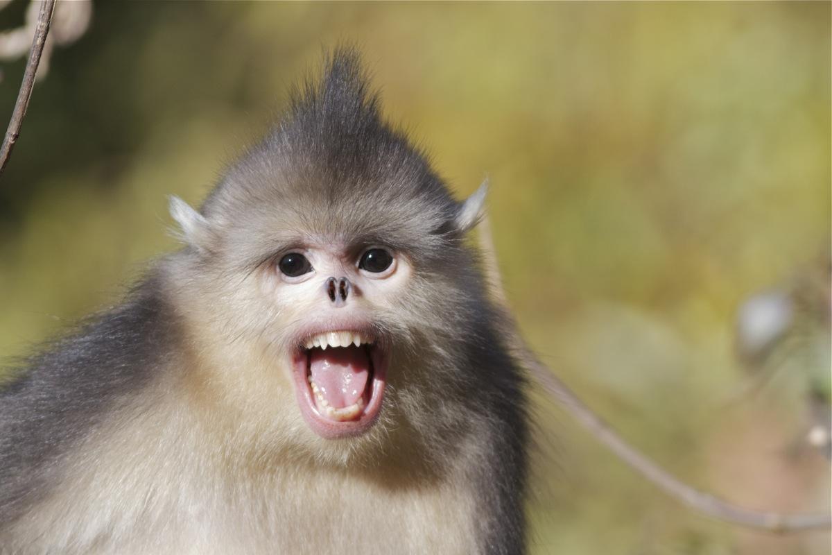 burmese sneezing monkey