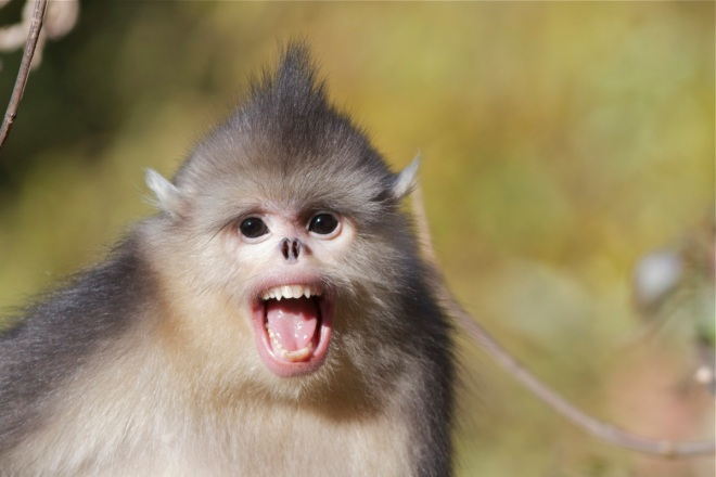 A young Yunnan Snub-nosed Monkey, north of Lijiang, Yunnan Province.