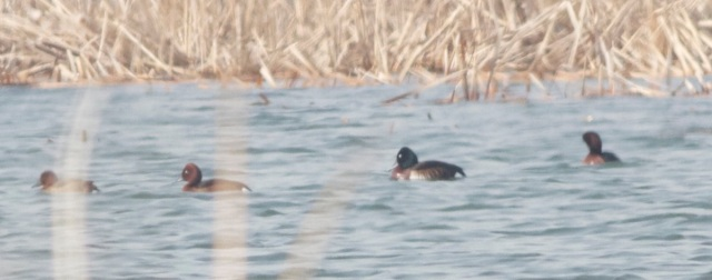 An adult drake BAER'S POCHARD at Ma Chang.  A welcome sighting of this now Critically Endangered species.