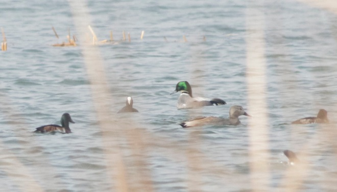 The drake BAER'S POCHARD (left) with Falcated Duck, Coot, Gadwall and Tufted Duck