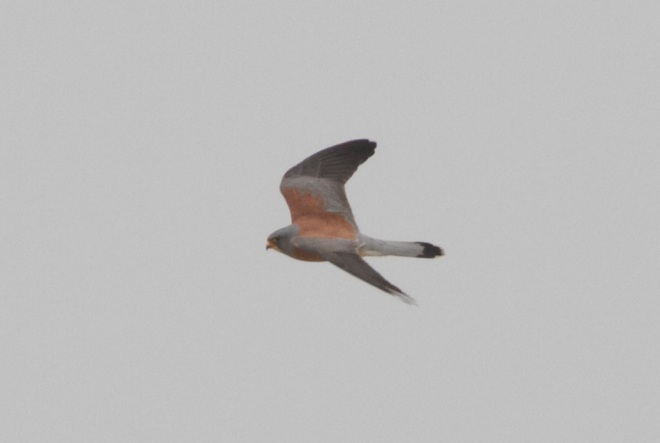 Lesser Kestrel (male), Ma Chang.