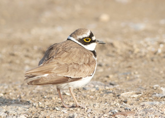 Little Ringed Plover, Ma Chang