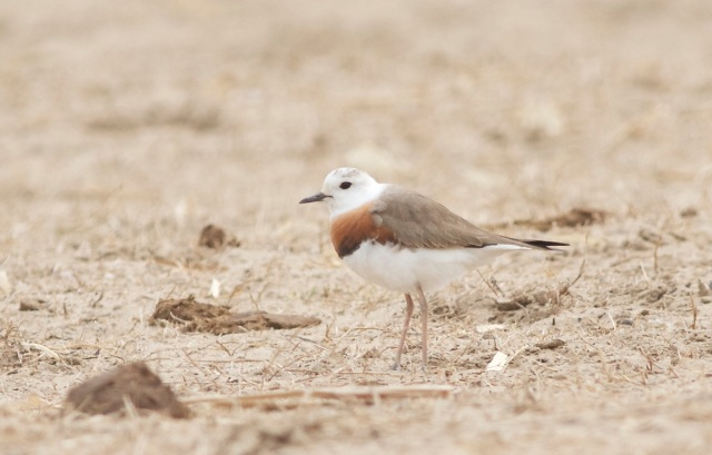 Oriental Plover (male), Ma Chang.