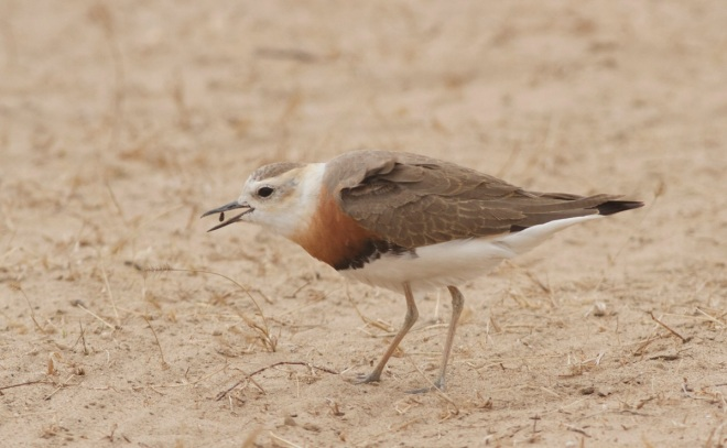 Oriental Plover, Ma Chang.