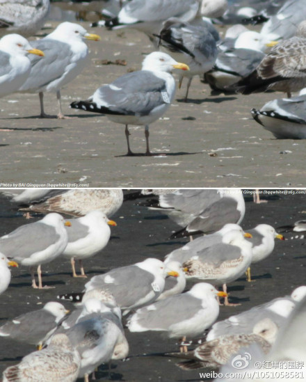 "Mongolian Gull ""AC82"", Jinzhou Bay, Dalian, March 2013.  Photograph by Bai Qingquan."