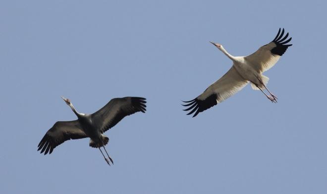 Siberian Crane with White-naped Crane, Yeyahu NR, 27 March 2013