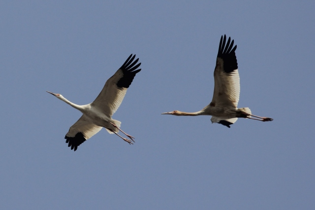 Siberian Cranes (Grus leucogenarus), Yeyahu NR, 27 March 2013