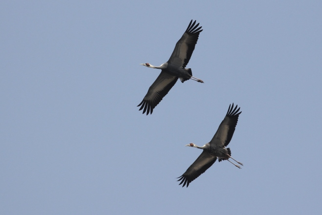 White-naped Cranes (Grus vipio), Yeyahu NR, 27 March 2013