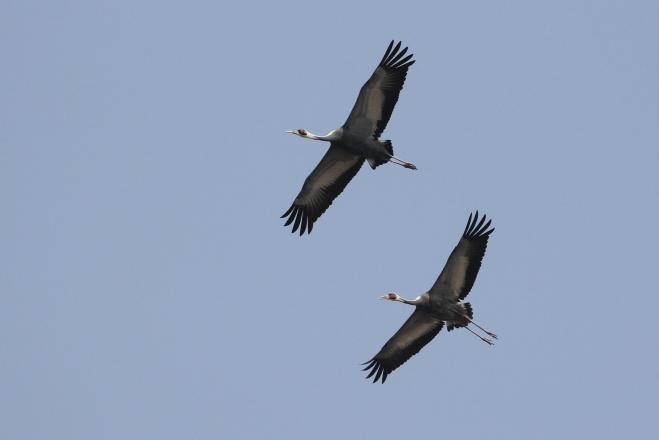 White-naped Cranes (Grus vipio), Yeyahu NR, 27 March 2013