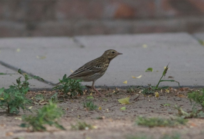Tree Pipit (Anthus trivialis), UK Ambassador's garden, Beijing, 13 May 2013